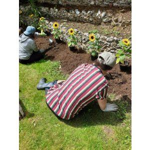 Sunflower planting 2